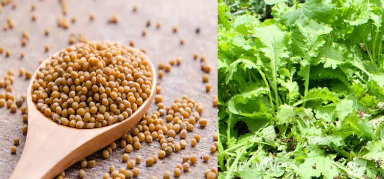 Organic Mustard In Noida